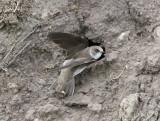 Sand Martin  Backsvala  (Riparia riparia)