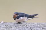 Barn Swallow  Ladusvala  (Hirundo rustica)