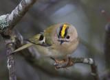 Goldcrest  Kungsfågel  (Regulus regulus)