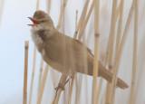 Great Reed Warbler  Trastsångare  (Acrocephalus arundinaceus)