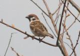 Eurasian Tree Sparrow; exotic