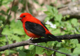 Scarlet Tanager; breeding male