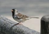 Harris's Sparrow; breeding