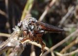 Heteropogon Robber Fly species