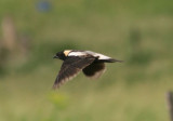 Bobolink; breeding male