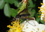 Chrysopilus velutinus; Snipe Fly species