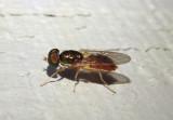 Cephalochrysa Syrphid Fly species
