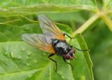 Mesembrina latreillii; Muscid Fly species
