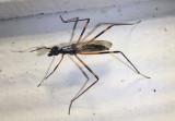 Rainieria antennaepes; Stilt-legged Fly species