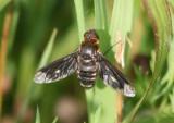 Exoprosopa meigenii; Bee Fly species