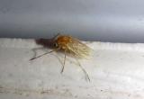 Procladius bellus; Midge species