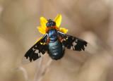 Exoprosopa rhea; Bee Fly species