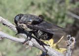 Cuterebra americana complex; Bot Fly species