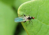 Hybos Dance Fly species
