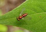 Condylostylus caudatus group; Long-legged Fly species