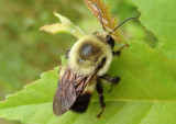 Bombus impatiens; Common Eastern Bumble Bee