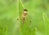 Chrysopilus modestus; Snipe Fly species; male
