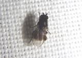 Limosininae Lesser Dung Fly species