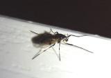 Coelotanypus scapularis; Midge species