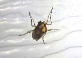 Coelotanypus tricolor; Midge species