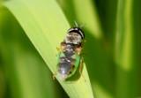 Odontomyia virgo group; Soldier Fly species