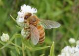 Apis mellifera; Western Honey Bee worker; exotic
