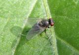 Agromyzinae Leaf Miner Fly species