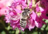 Megachile Leaf-cutting Bee species