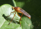 Diogmites neoternatus; Hanging-thief Robber Fly species