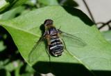 Villa Bee Fly species
