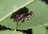 Chalcosyrphus nemorum; Syrphid Fly species