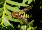 Syrphus Syrphid Fly species