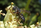 Coelioxys modesta; Leafcutting Bee species
