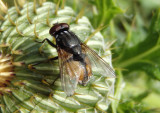 Musca autumnalis; Face Fly; exotic