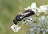 Prosopis Yellow-masked Bee species