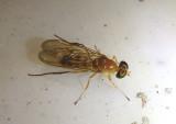 Ptecticus trivittatus; Soldier Fly species