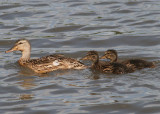 Mallards; female and ducklings