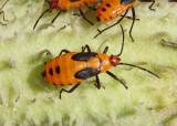 Seed Bugs