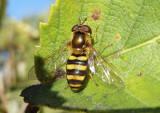 Metasyrphus Syrphid Fly species