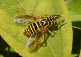 Spilomyia longicornis; Syrphid Fly species