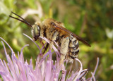 Svastra obliqua obliqua; Long-horned Bee species