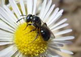 Ceratina Small Carpenter Bee species