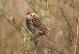 Le Conte's Sparrow; immature