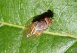 Minettia magna; Fly species