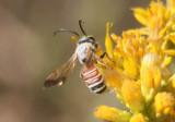 Dieunomia nevadensis arizonensis; Sweat Bee species