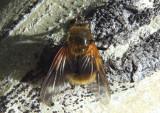 Mesembrina decipiens; Fly species