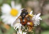 Tachina Tachinid Fly species