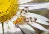 Trypeta flaveola; Fruit Fly species