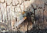 Muscidae House Fly species