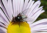 Muscoidea Fly species